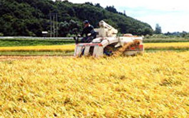 絹子コシヒカリの収穫